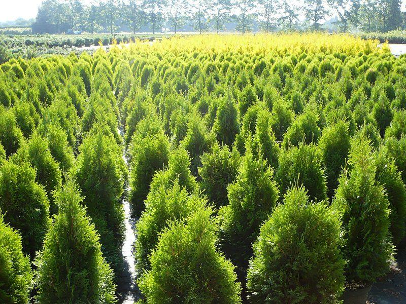 koniferen pflanzen